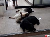 人が出入りするほど心地よい?コンビニの自動ドアの前で腹を出して眠る犬(タイ)