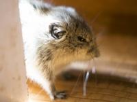 笑い声をあげて、孤独にストレスを感じる…人間そっくりなネズミの生態(*画像はイメージです)