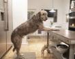 背高のっぽでフサフサで。大型犬、アイリッシュウルフハウンドの魅力をぎゅっと集めてみた。