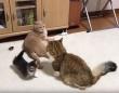 結果大オーライ!かわいい子猫が大人猫の喧嘩を防ぐ方法は人間の喧嘩にも効果的かも!