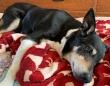 3年間前に行方不明となっていた老犬が瀕死の状態で発見され、奇跡の回復を遂げ飼い主と再会
