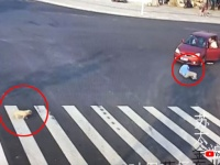 人よりも犬の方が賢い?横断歩道を無視して道路を渡り車にひかれた男性の横で、きちんと横断歩道を渡る犬