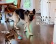 浄化タイム。毎朝猫のおもちゃを運んできて、猫と遊んであげるのが日課のジャーマンシェパード