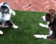初めましてでひっくり返っちゃった。子犬のジェイクさん、従弟に会って転がった