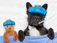 米国ではイヌのインフルエンザが流行中(depositphotos.com)