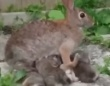 畑のそばに巣穴を作った野ウサギ母さん、子ウサギたちに献身的な愛を注ぐ