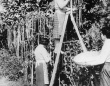 「スパゲッティの木」1957年のイギリスのエイプリルフールネタから得られる教訓とは?