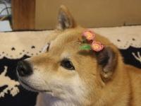 柴犬まる、富士見パノラマリゾートへ! ひな飾りの小話もあるよ