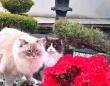 ボクたちの日本庭園を案内するよ!ラグドールたちのお気に入りの場所を見せてもらおう