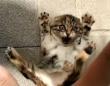 子猫のクチュクチュクーからの?モフるのを止めた時の手の動きに反応するにゃんこに注目