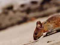 デザイナー・タンパク質の革命的な回復力。麻痺したマウスが再び歩けるように(ドイツ研究)