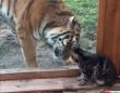 同じネコ科だもの。小さな猫にガラス越しからやさしく接する大きな虎(ロシア)