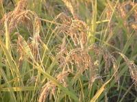 収穫前のコシヒカリの稲穂(「Wikipedia」より)