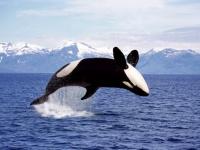 シャチの天敵は海にはいない。その最大の敵は陸にいる(カナダ・アメリカ共同研究)