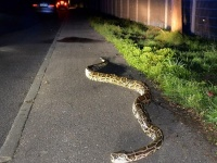 ゴルフ場でヘビとワニの死闘が目撃される!