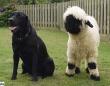 世界一かわいい羊を飼ったところ犬化が進んで犬のようにふるまうように