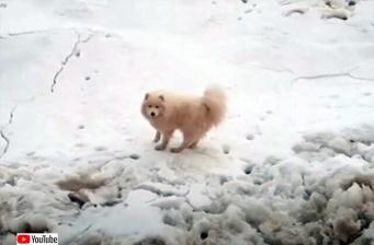 北極海の流氷に取り残されてしまった犬、一週間以上たって発見され無事救出される