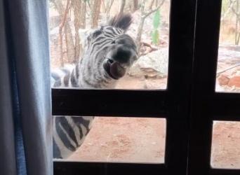 毎朝うちにシマウマが来るのだが…保護シマウマズ、ニンゲン宅で逢引する