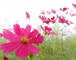 コスモスは印西市の「市の花」であるとか(t.kunikuniさん撮影, flickrより)
