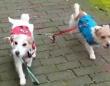 ジャックラッセルテリアのアリさん、飼い主が放したリードをくわえて同居犬をとともにもどってくる
