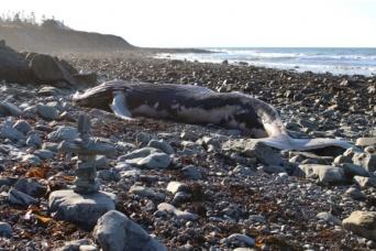 マリアナ諸島におけるクジラの座礁の半数は、軍のソナーテストの後で発生していたとする調査結果(米研究)