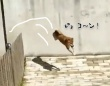 柴犬の機動力すごい!ピョンピョンと塀を飛び越えていくから塀の意味がまったくないっていう...。