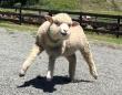 かわいい羊に見える...?(画像はイングランドの丘提供、編集部で一部トリミング)