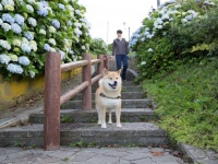 柴犬まるの埼玉さんぽ~まる、あじさい豆知識とおすすめスポットを語る~