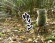 尻尾大増量セール実施中、本体より30%も太くて大きい尻尾を持つ吸血リス「フサミミクサビオリス」(ボルネオ島)