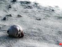 海岸で人形の首がゆっくりと動いていく。そこには悲しい事情があった(アメリカ・ウェーク島)