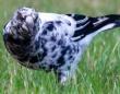 白黒まだら。ダルメシアンなカササギフエガラスが目撃される(オーストラリア)
