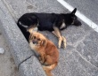 仲間の犬が交通事故に。誰かが助けてくれるまで何時間も傍で見守り続けた犬(アメリカ)