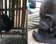 家族から引き離され、檻に閉じ込められていた幼いゴリラ(カメルーン)