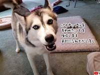 仲間の犬にパイナップルを奪われたハスキー、飼い主に陳情。取り返してあげたものの...