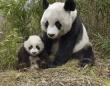 シンシン出産でから騒ぎ? 中国の外交武器パンダに秘められた密命(※写真はイメージです)