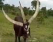 立派なツノが3本も!ウガンダの牧場にいる3本角の牛