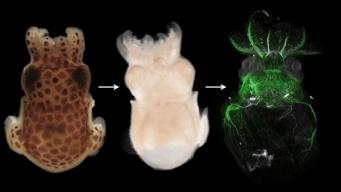 生物の体を短時間できれいに透明化する技術が開発される(オーストリア研究)