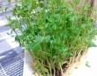 食費の大幅節約!! キッチンでできる野菜の再生栽培まとめ