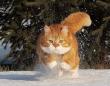 寒冷地仕様だから雪に強し!ロシアの猫、ジンジャーの日常
