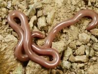 全長1.5メートルにおよぶミミズがフィリピンで確認される!