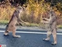 カナダオオヤマネコが路上でタイマン対決。にらみ合ってからのファイッ!
