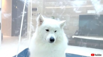 サモエド犬のブロータイム「さよなら、ボクの抜け毛…」と神妙にドライヤーの風に当たる犬