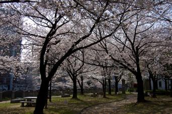 オフィス街のお花見スポットとなっている天神中央公園(yuki5287さん撮影, Flickrより)