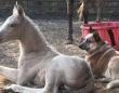 生まれてすぐに母親を失った子馬を支え続けてくれたのは元保護犬だった(アメリカ)