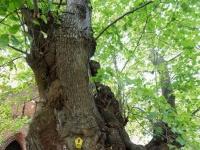 違法伐採に反対する女性たちが木と結婚!