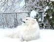 冬だ!サモエドの季節がやって来た!雪の中を大はしゃぎで走り回る犬