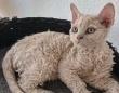 くるくるヘアで人懐こい。羊みたいな巻き毛の猫に関する海外の反応