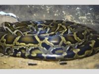 体長7メートルに成長!? 横浜の「脱走ニシキヘビ」にネット民が戦々恐々のワケ