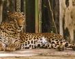 インドの山間部に現れた野生のヒョウが人間に近づきじゃれつく姿を見せ、専門家ら懸念の声
