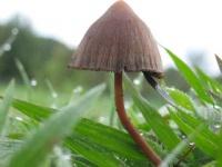 画像:マジックマッシュルームの一種。「Wikipedia」より引用
